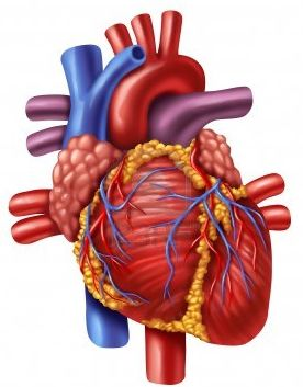 human heart anatomy ed